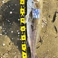 東のアングラーさんの千葉県匝瑳市でのスズキの釣果写真
