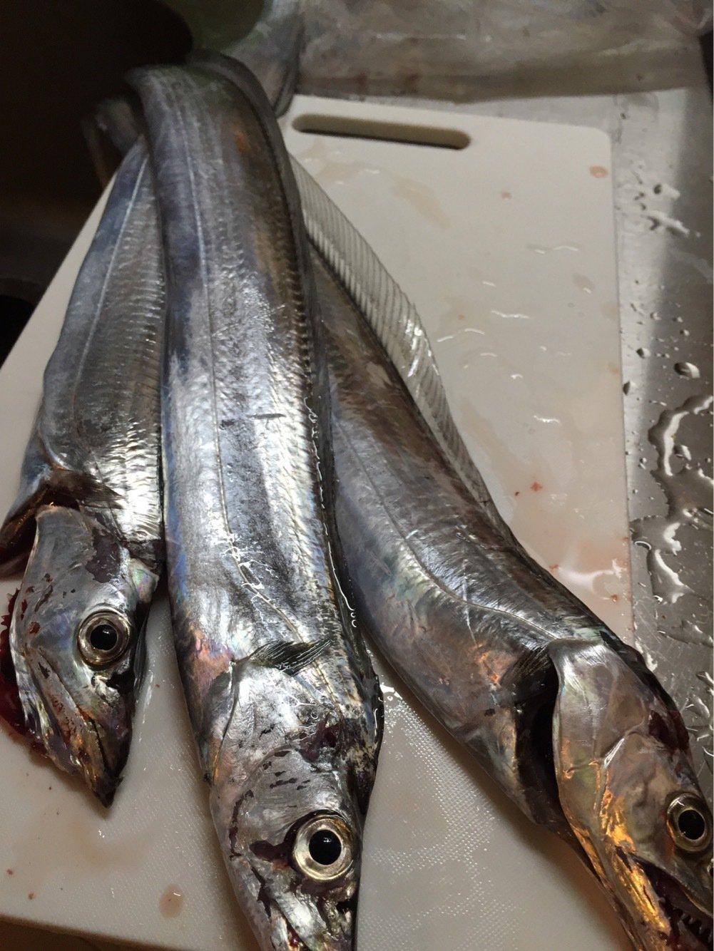 オコピチュさんの投稿画像,写っている魚はタチウオ