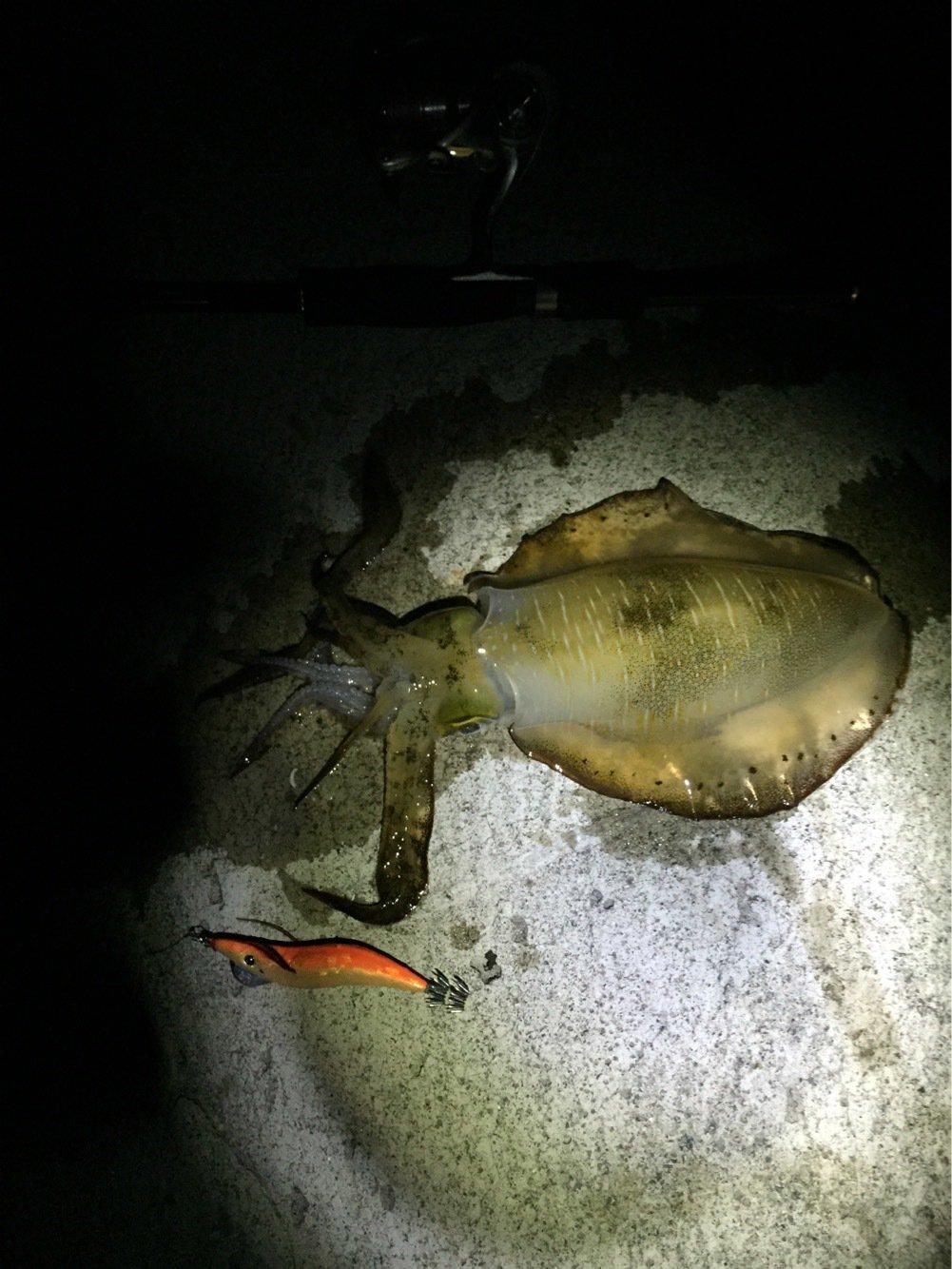 オコピチュさんの投稿画像,写っている魚はアオリイカ