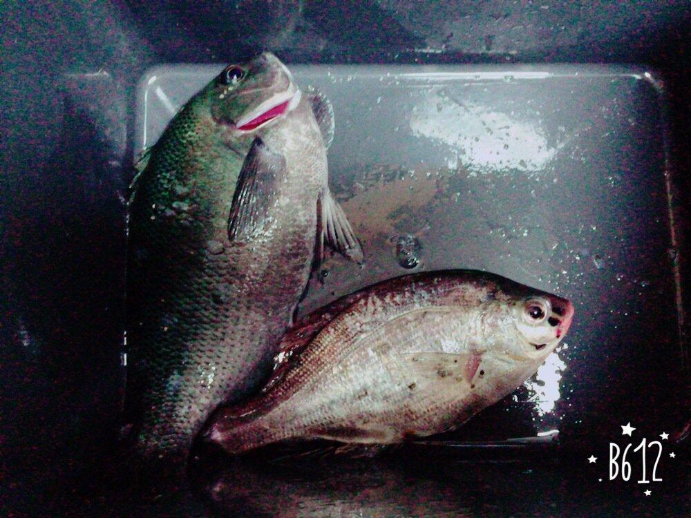 はっしーさんの投稿画像,写っている魚はメジナ