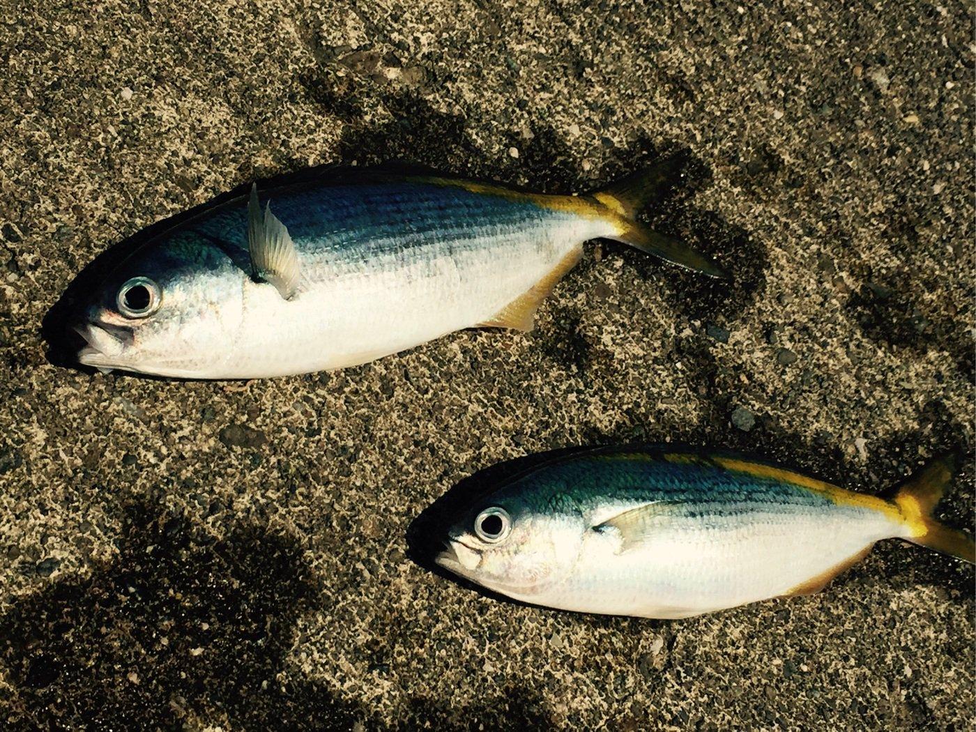 さわさんの投稿画像,写っている魚はタカベ