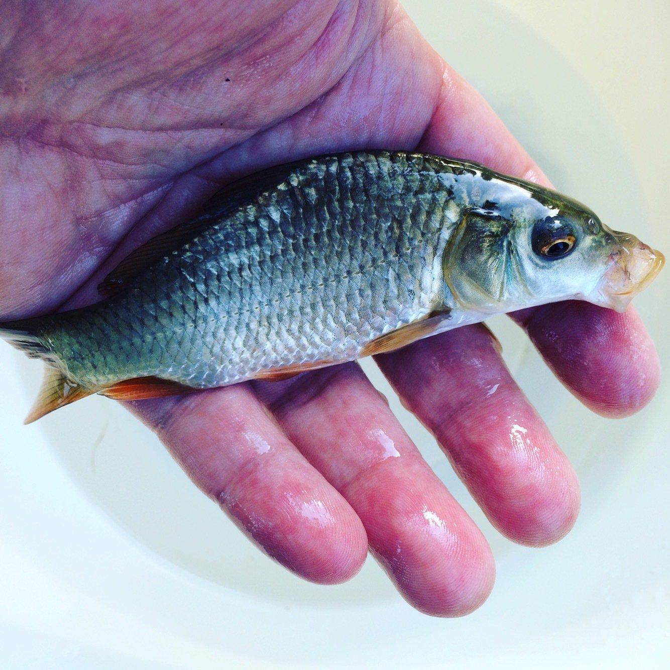 とよきんさんの投稿画像,写っている魚はコイ