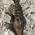 まささんの愛知県知多郡でのアイナメの釣果写真