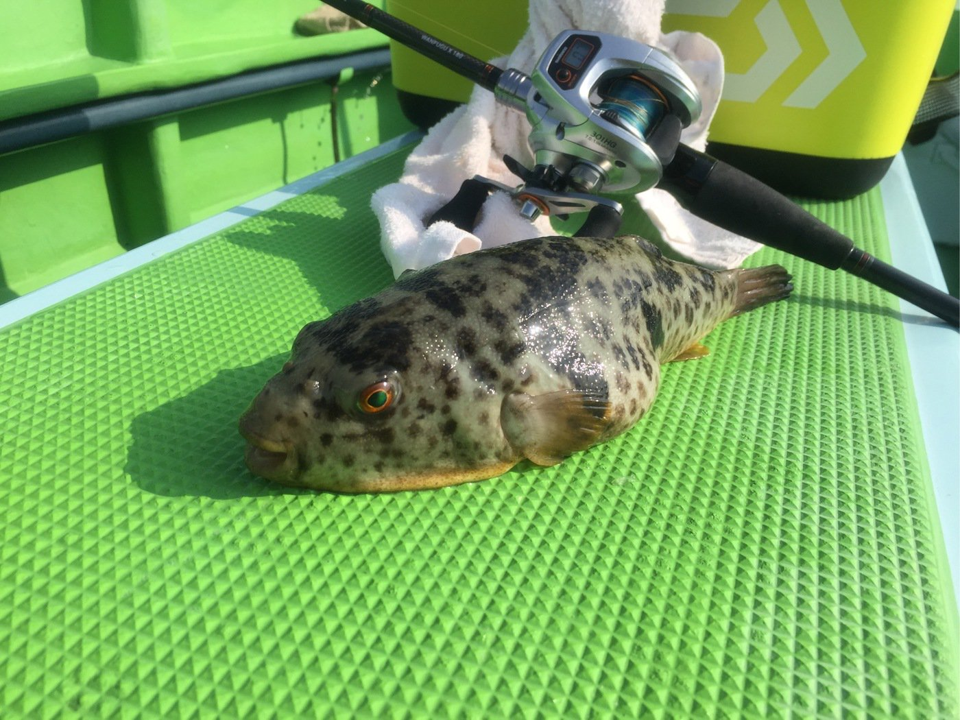KJさんの投稿画像,写っている魚はヒガンフグ