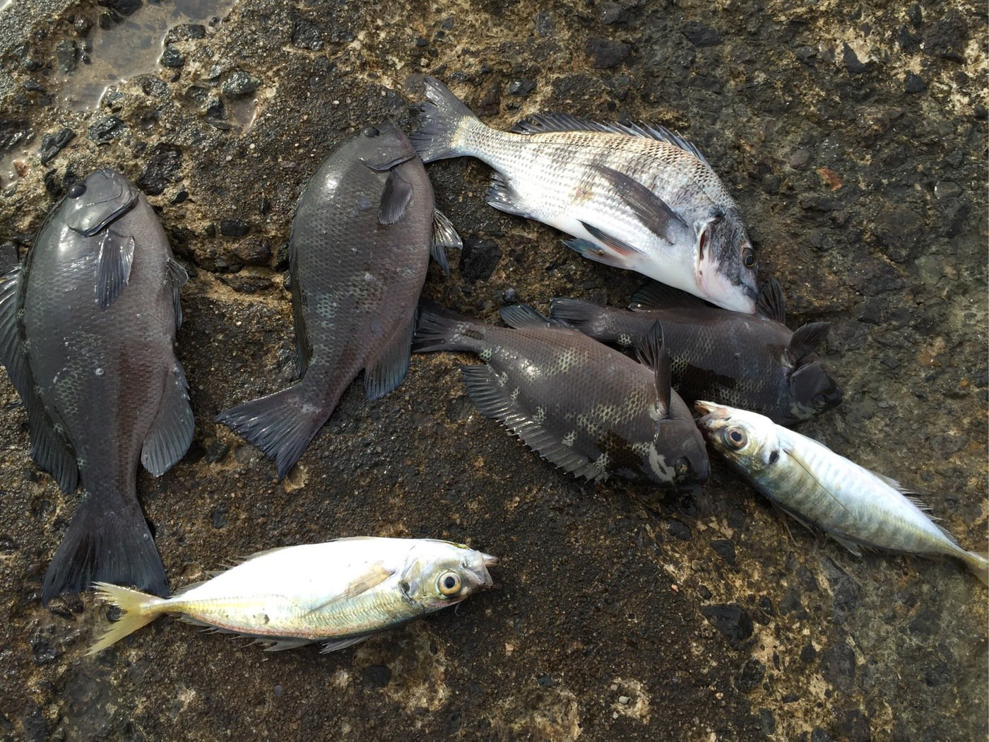 カングロさんの投稿画像,写っている魚は