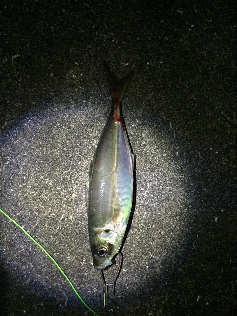 はたかつさんの投稿画像,写っている魚はアジ