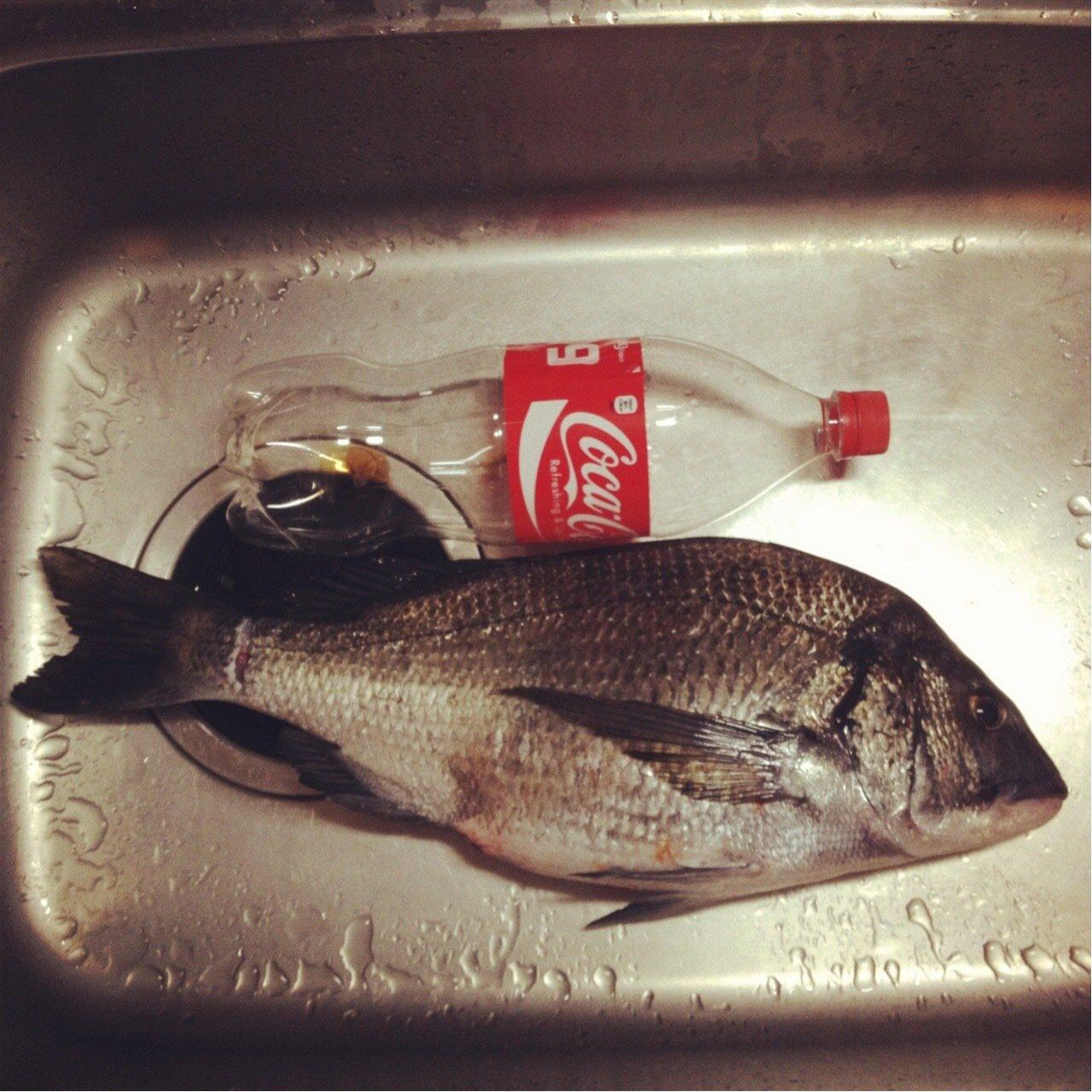 KJさんの投稿画像,写っている魚はクロダイ