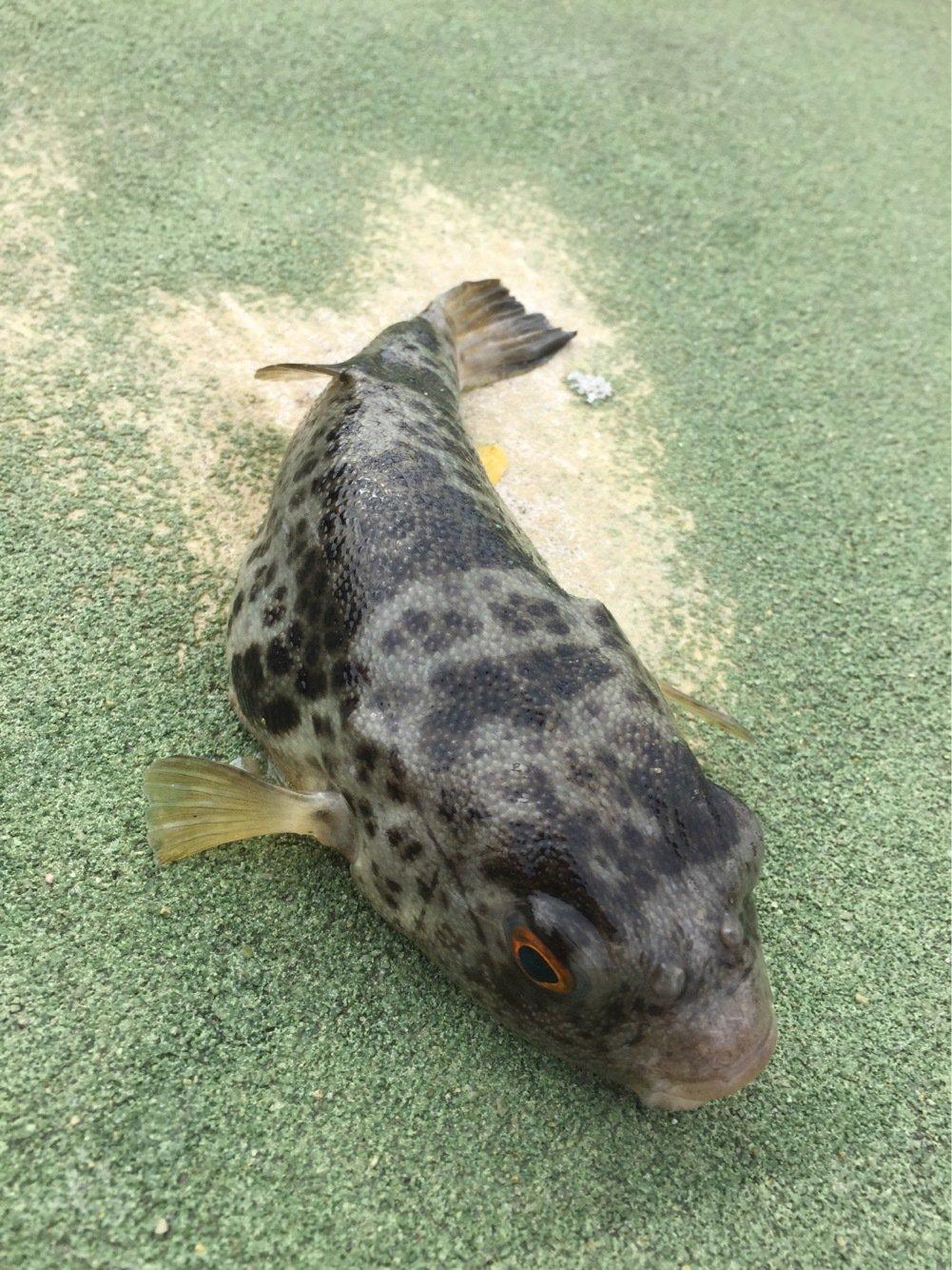 ヤッチさんの投稿画像,写っている魚はフグ