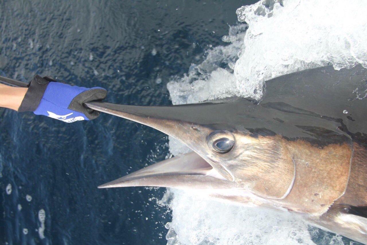 SHOEIさんの投稿画像,写っている魚はマカジキ