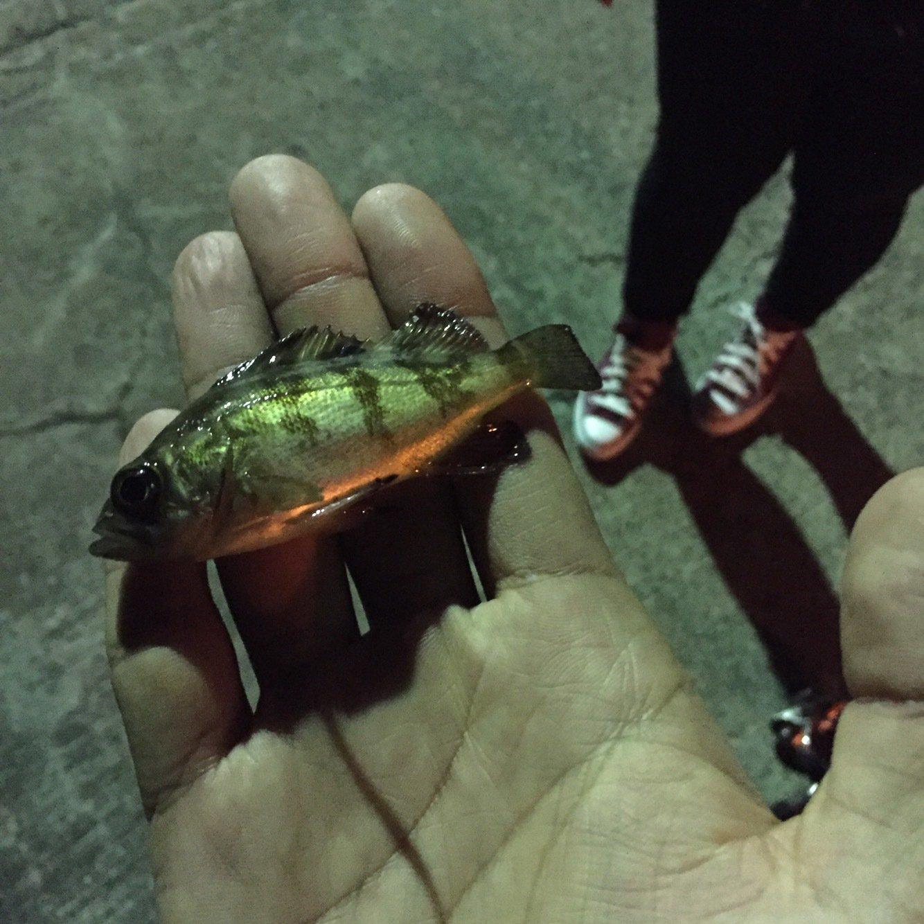 MSKさんの投稿画像,写っている魚はシロメバル