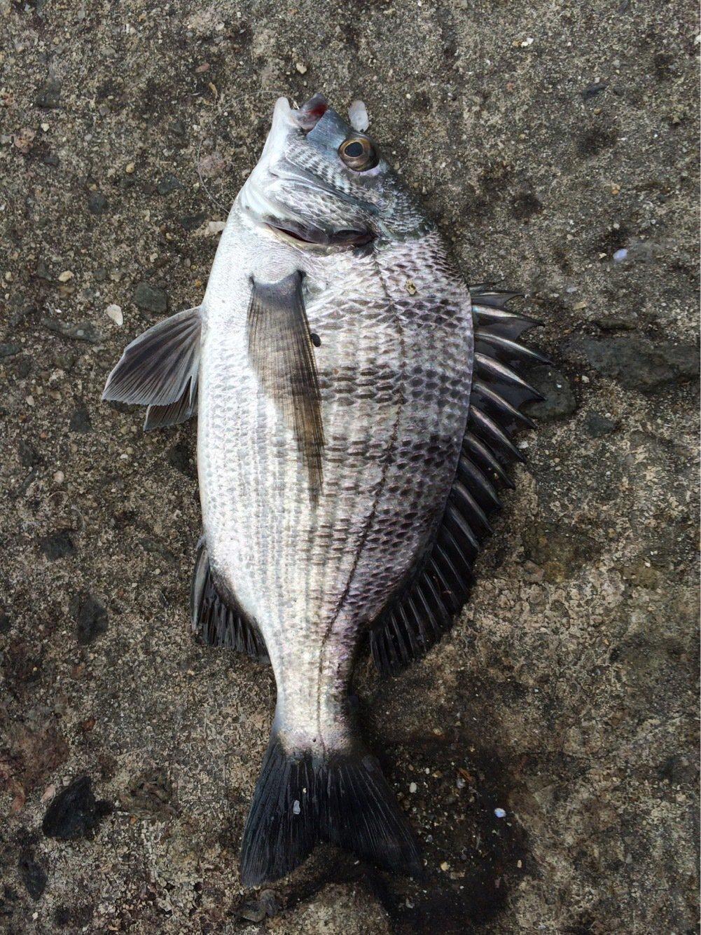 あにぃさんの投稿画像,写っている魚はクロダイ