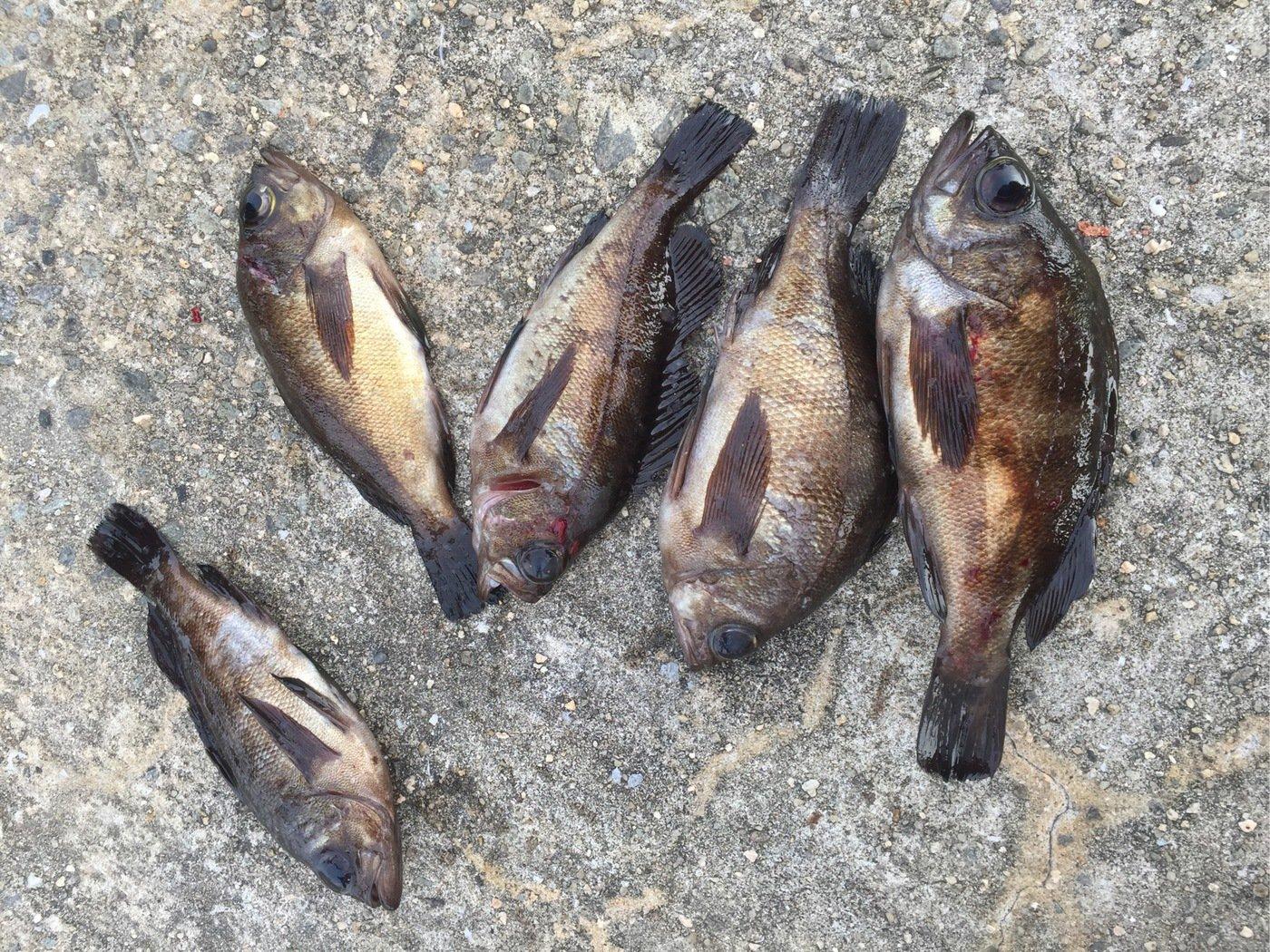 もちきちさんの投稿画像,写っている魚は