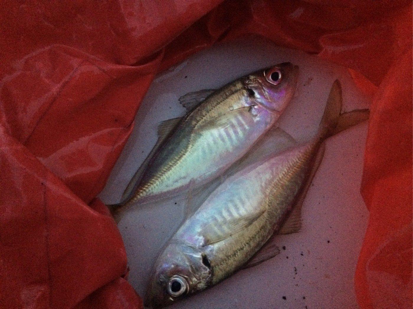 kuwazzyさんの投稿画像,写っている魚はアジ