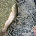 ミノーグさんの埼玉県東松山市での釣果写真