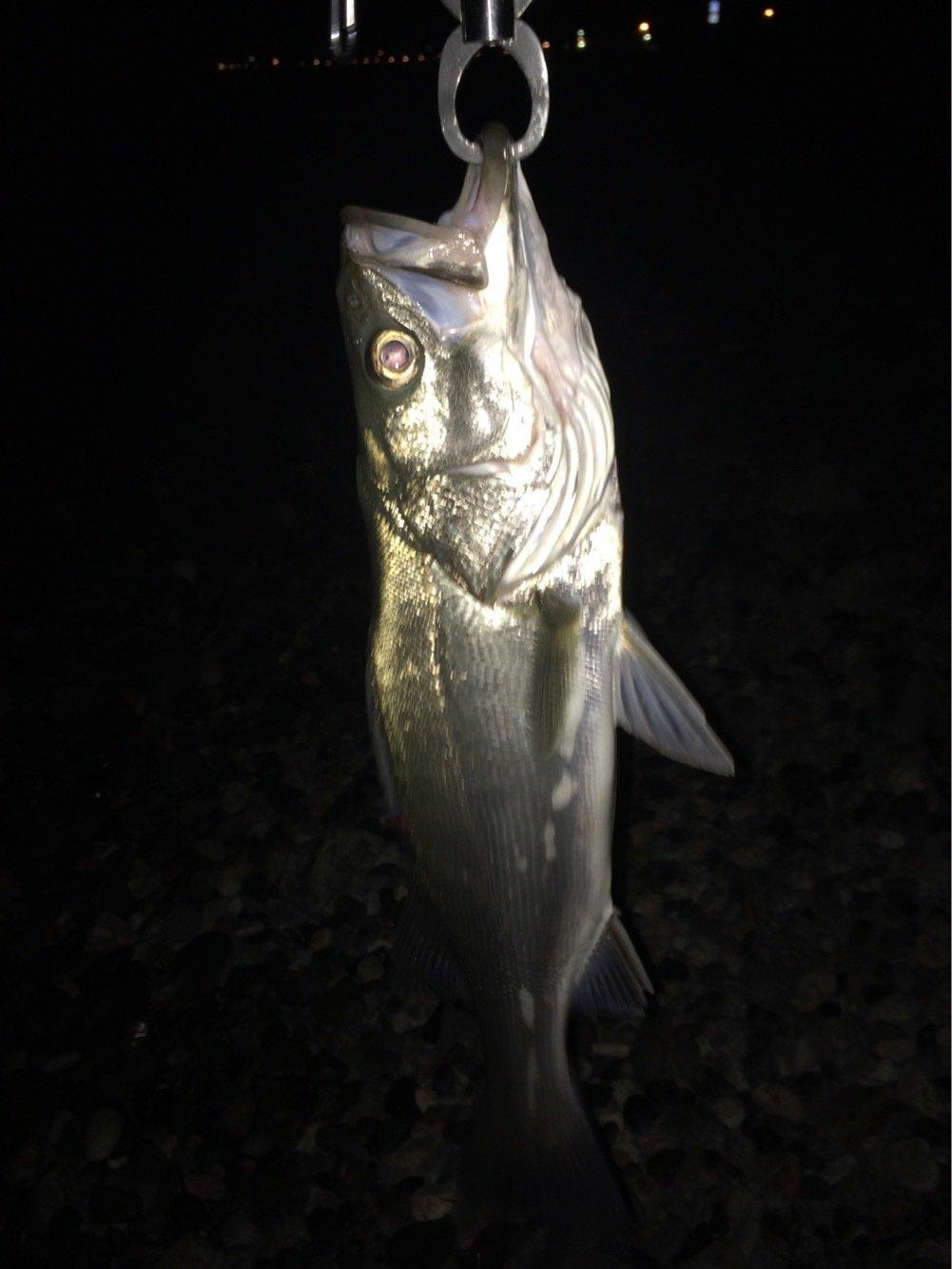 まらかすさんの投稿画像,写っている魚はスズキ