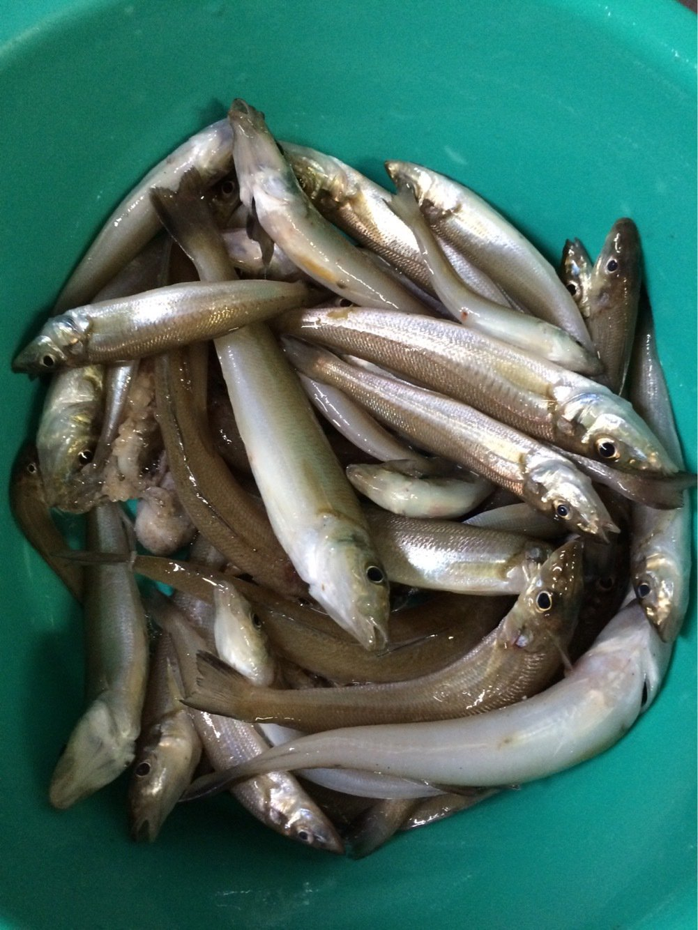 ひろにぃさんの投稿画像,写っている魚はシロギス