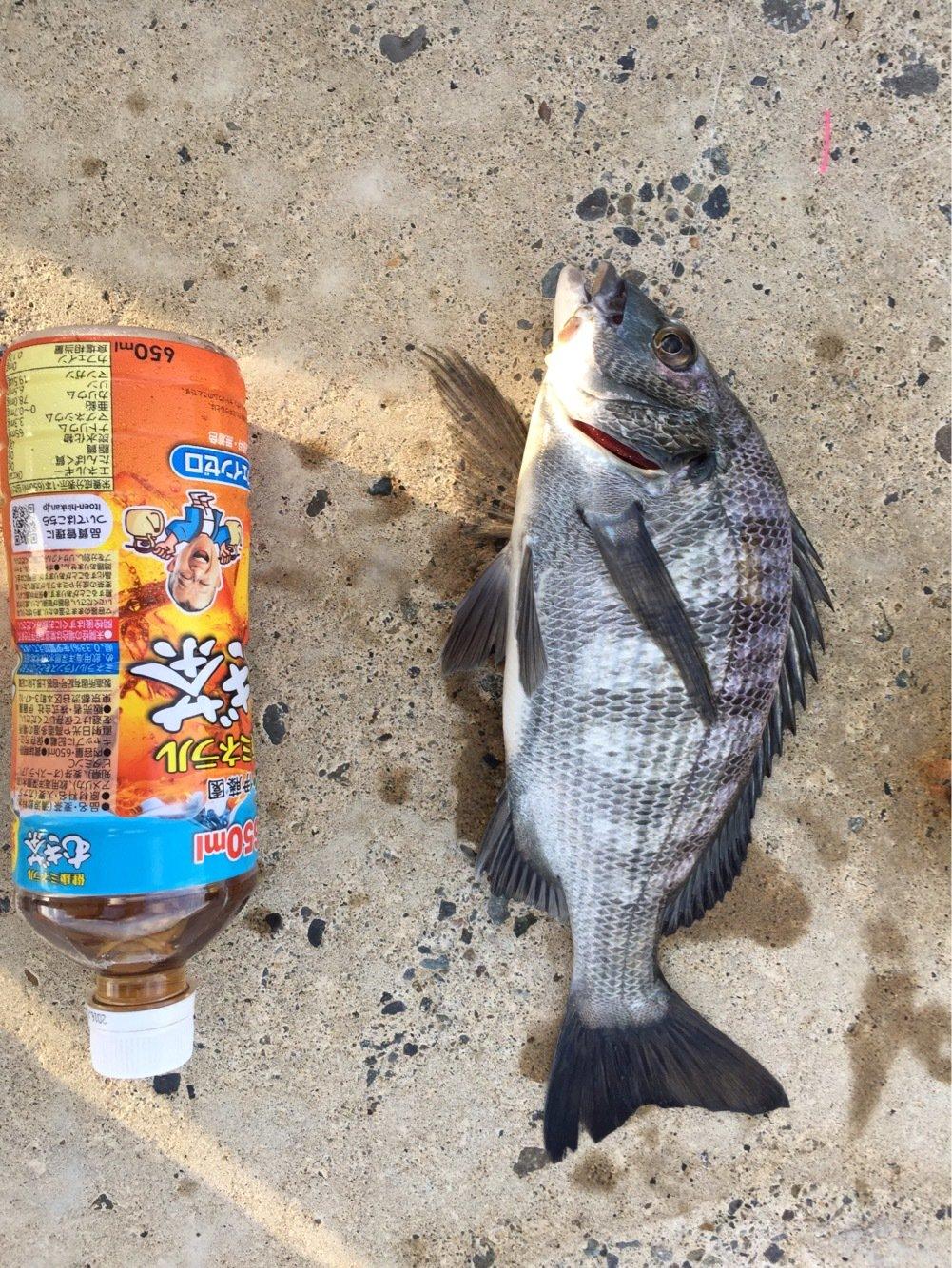和田さんの投稿画像,写っている魚はクロダイ