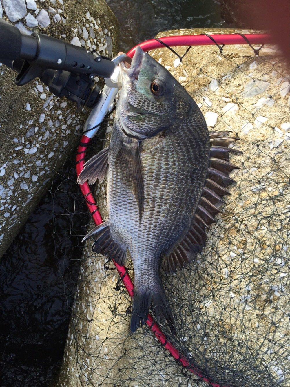 にじむらさんの投稿画像,写っている魚はクロダイ