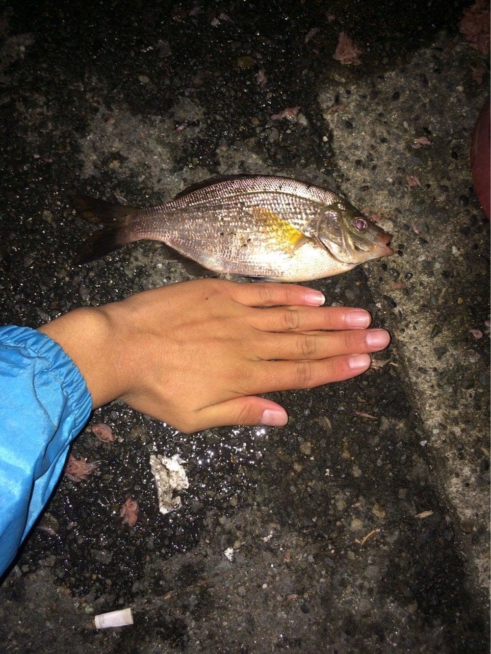 SKY-HIさんの投稿画像,写っている魚はウミタナゴ