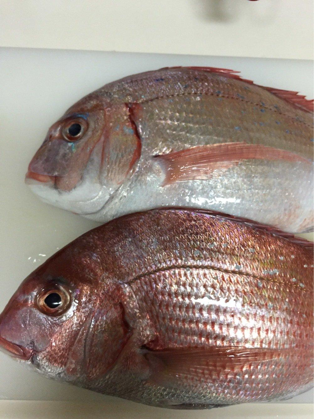ひろひさんの投稿画像,写っている魚はチダイ