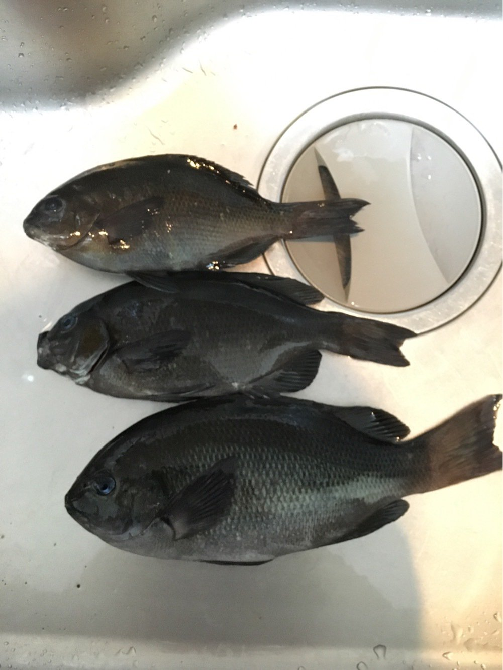 ひでさんの投稿画像,写っている魚はメジナ