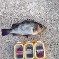 ミノタンさんの兵庫県南あわじ市でのメバルの釣果写真