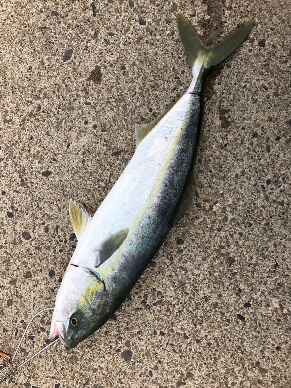 nob3Sさんの投稿画像,写っている魚はブリ