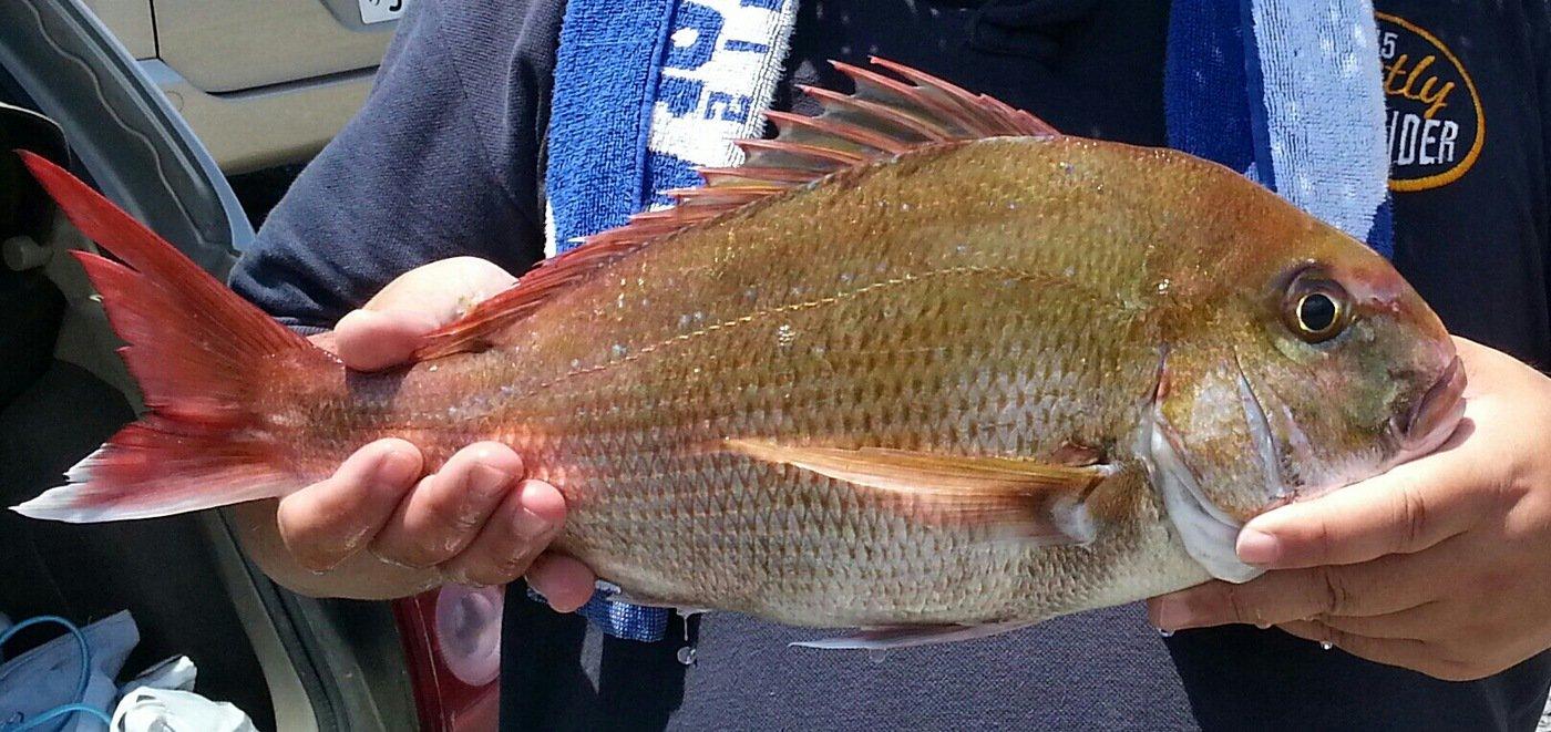 MINATOさんの投稿画像,写っている魚はマダイ