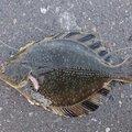 taitehuさんの北海道勇払郡での釣果写真