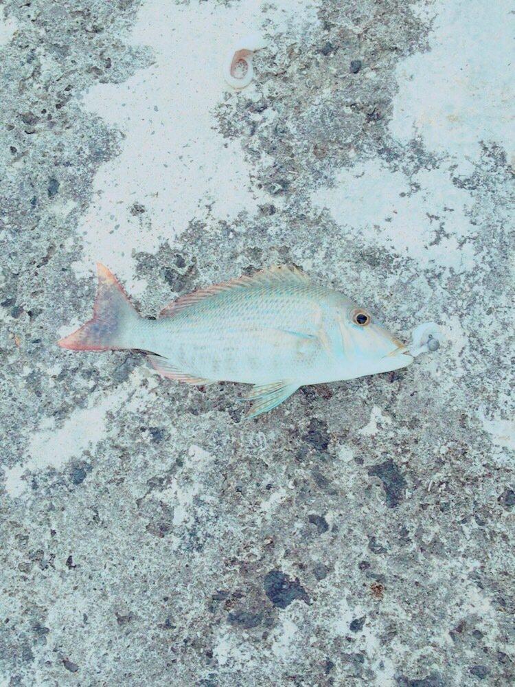 ゆう☆さんの投稿画像,写っている魚はハマフエフキダイ