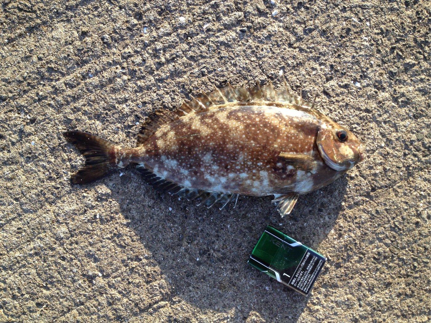 なさんの投稿画像,写っている魚はアイゴ