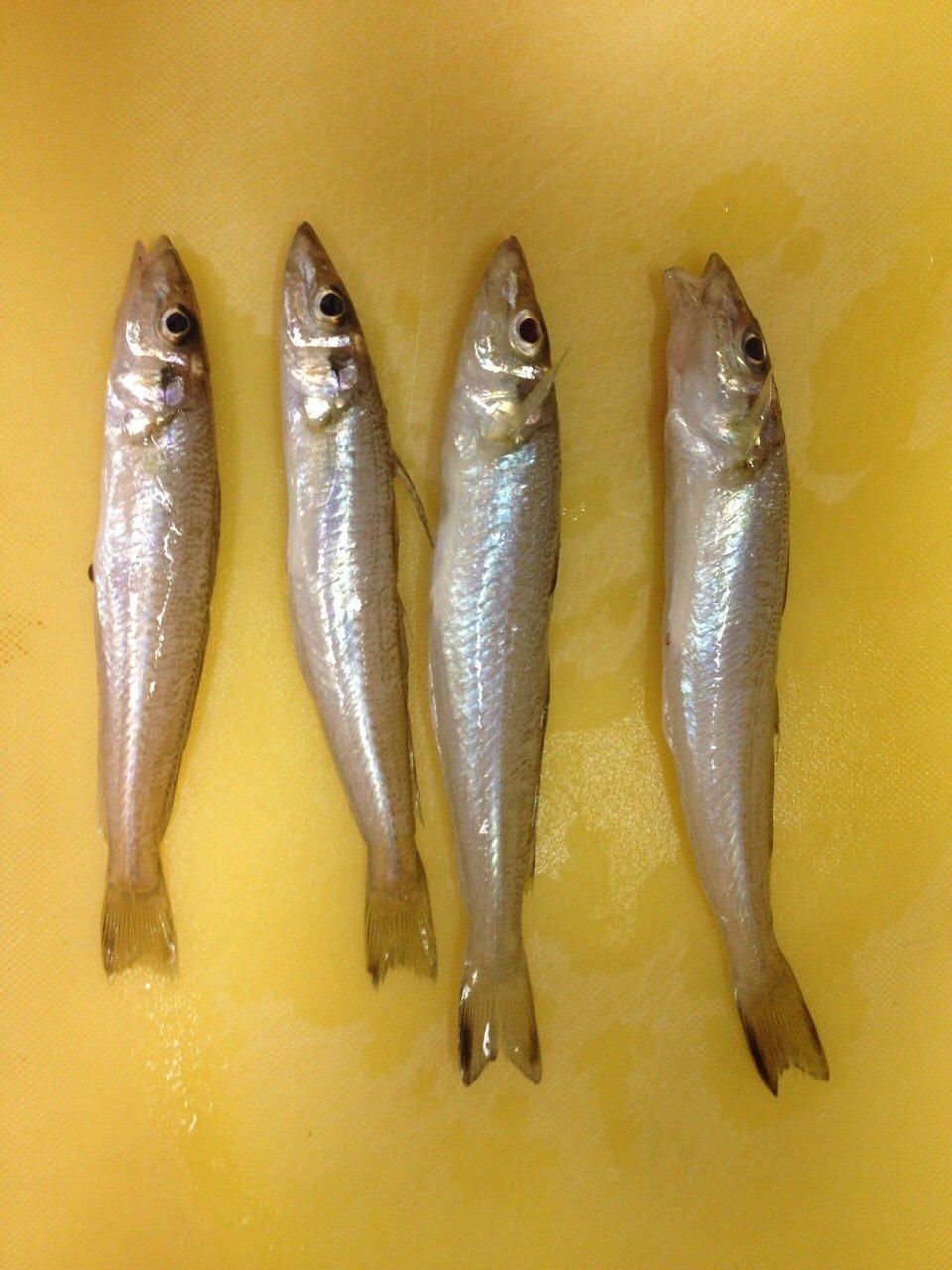 なさんの投稿画像,写っている魚はシロギス