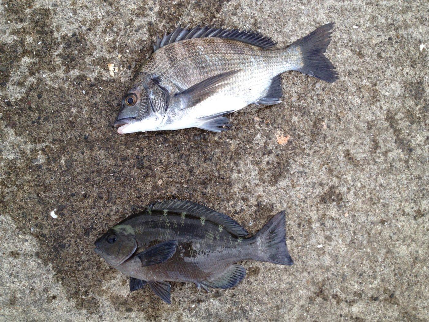 なさんの投稿画像,写っている魚はクロダイ