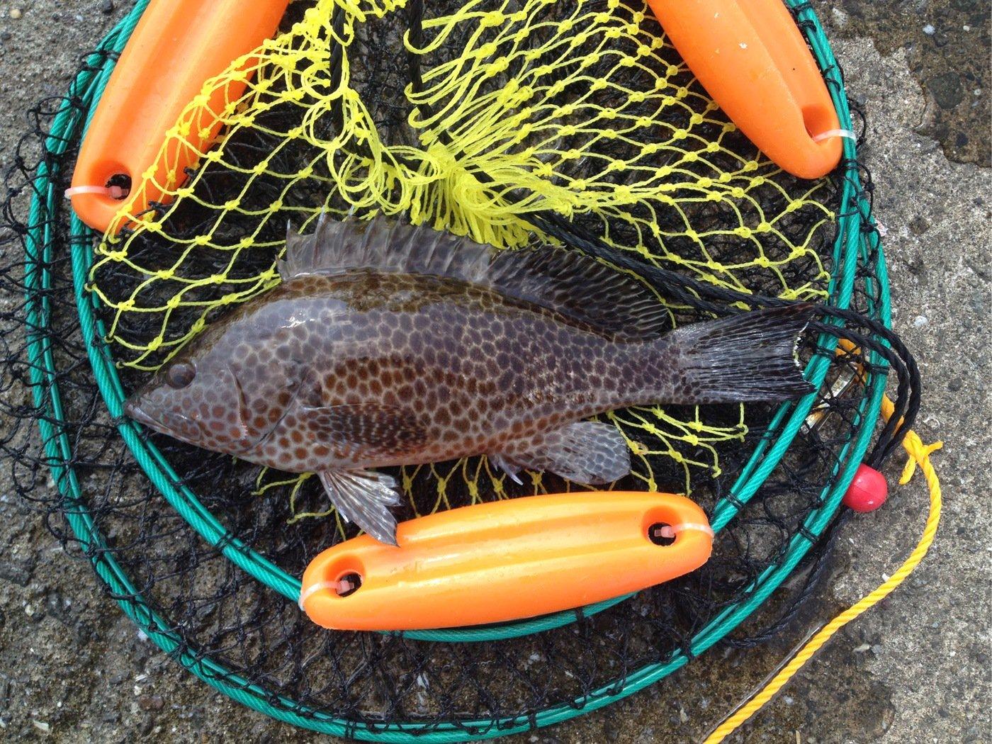 なさんの投稿画像,写っている魚はオオモンハタ