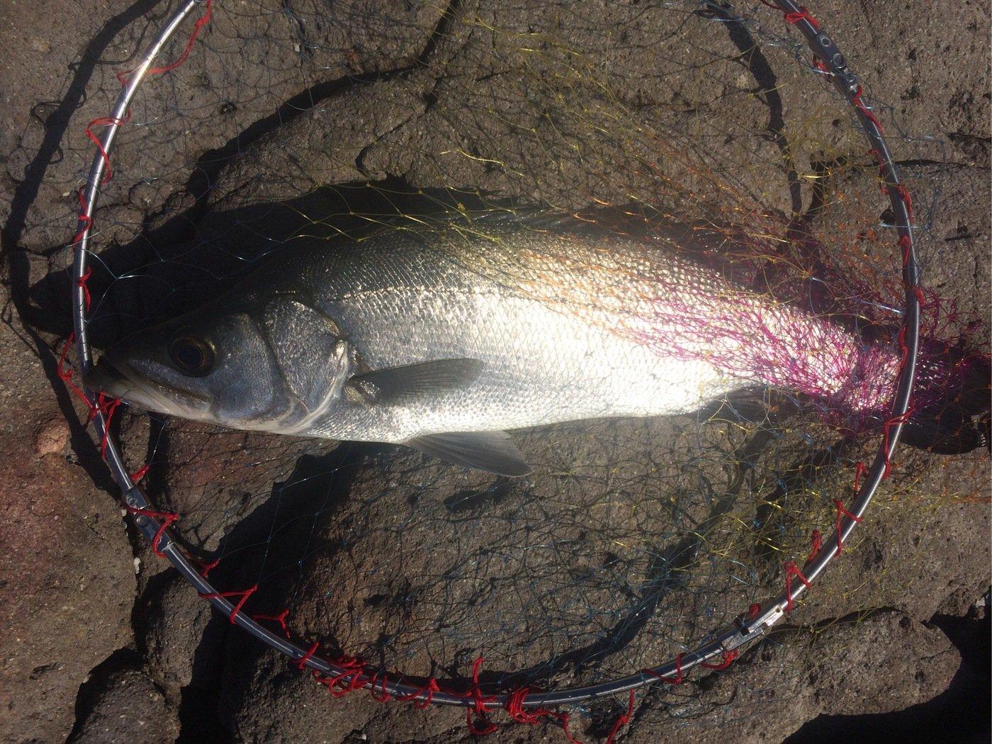 なさんの投稿画像,写っている魚はヒラスズキ
