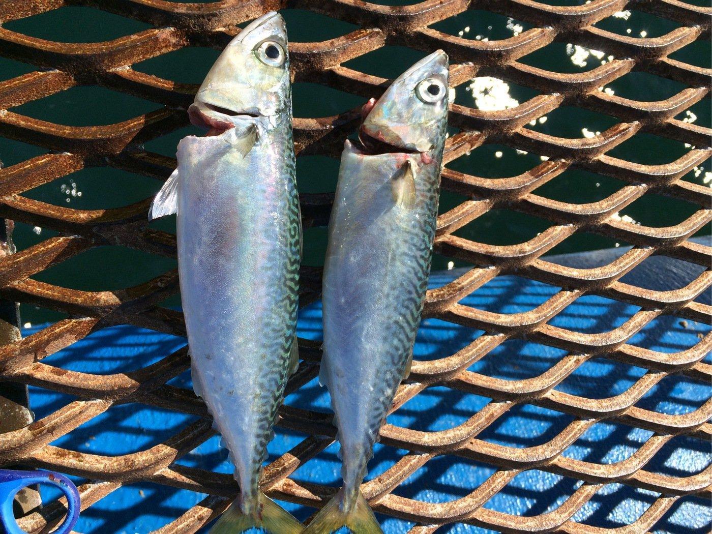 クリさんの投稿画像,写っている魚はゴマサバ