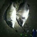 ヒデさんの愛知県東海市でのクロダイの釣果写真