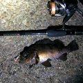 ひろヒロさんの神奈川県横須賀市でのシロメバルの釣果写真