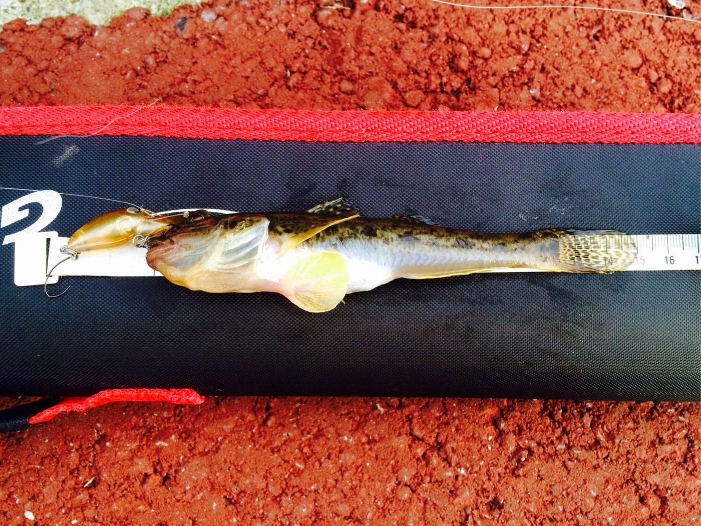 pavlovさんの投稿画像,写っている魚はマハゼ