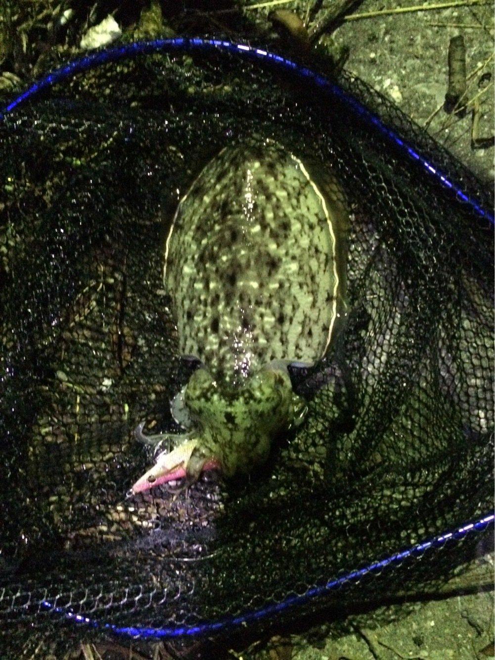 シーバスハンターさんの投稿画像,写っている魚はコウイカ