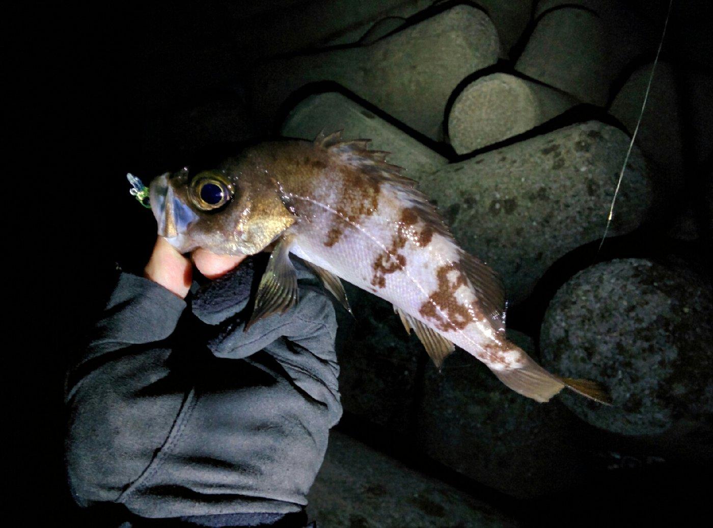 ひろヒロさんの投稿画像,写っている魚はシロメバル