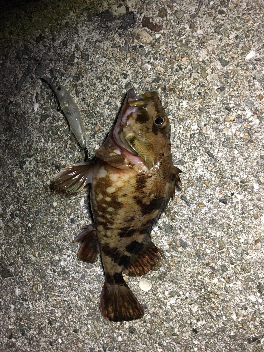 たかちんさんの投稿画像,写っている魚はカサゴ