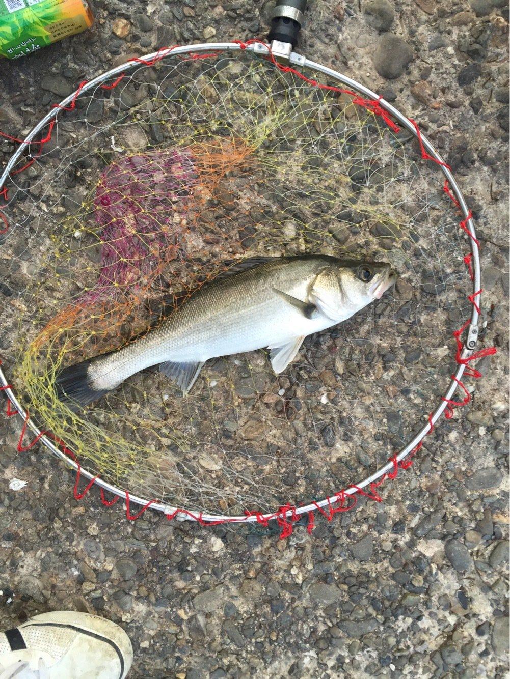 ふるっちさんの投稿画像,写っている魚はスズキ