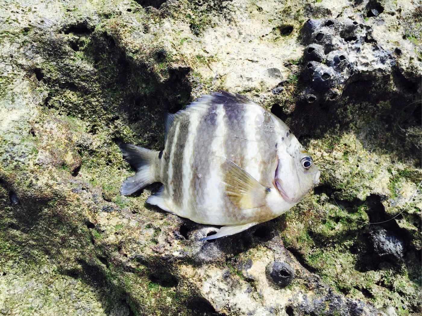 たつきさんの投稿画像,写っている魚はオヤビッチャ