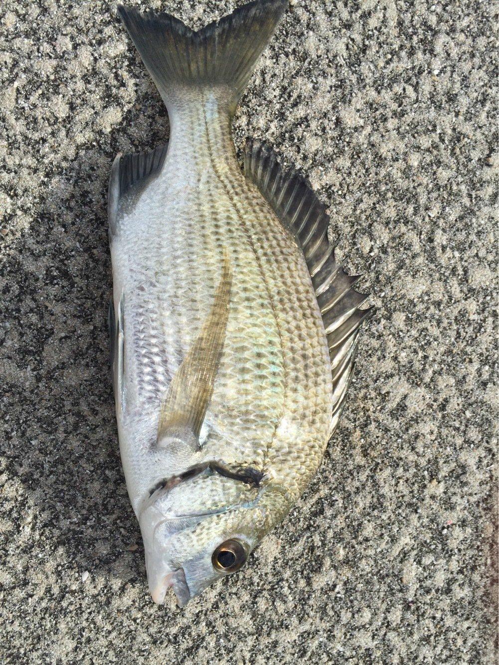 たつきさんの投稿画像,写っている魚はクロダイ