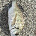 たつきさんの沖縄県南城市でのクロダイの釣果写真