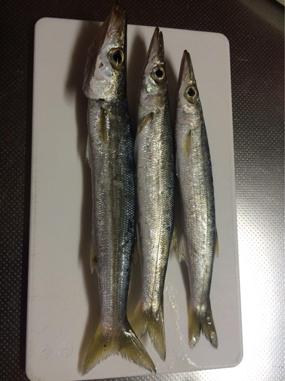 イナバーさんの投稿画像,写っている魚はカマス