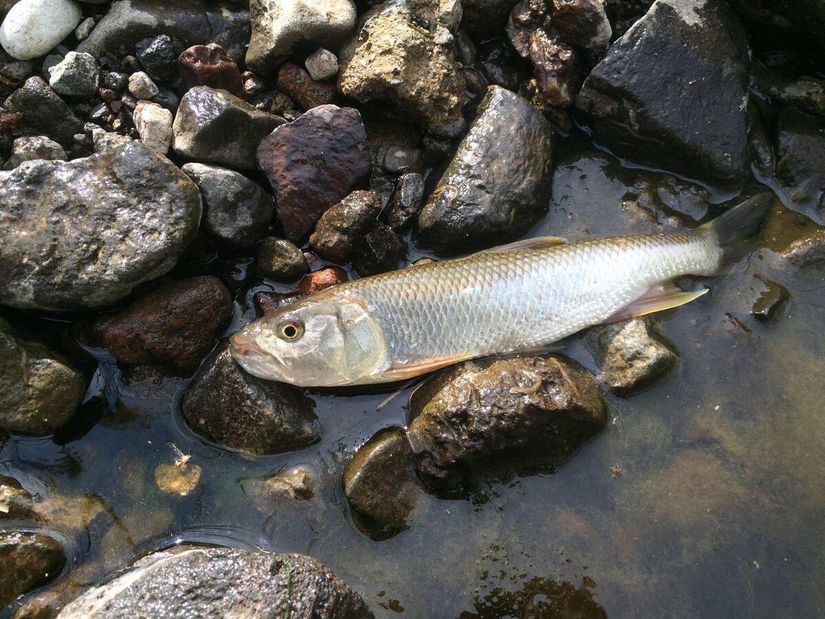 居酒屋村上さんの投稿画像,写っている魚はハス