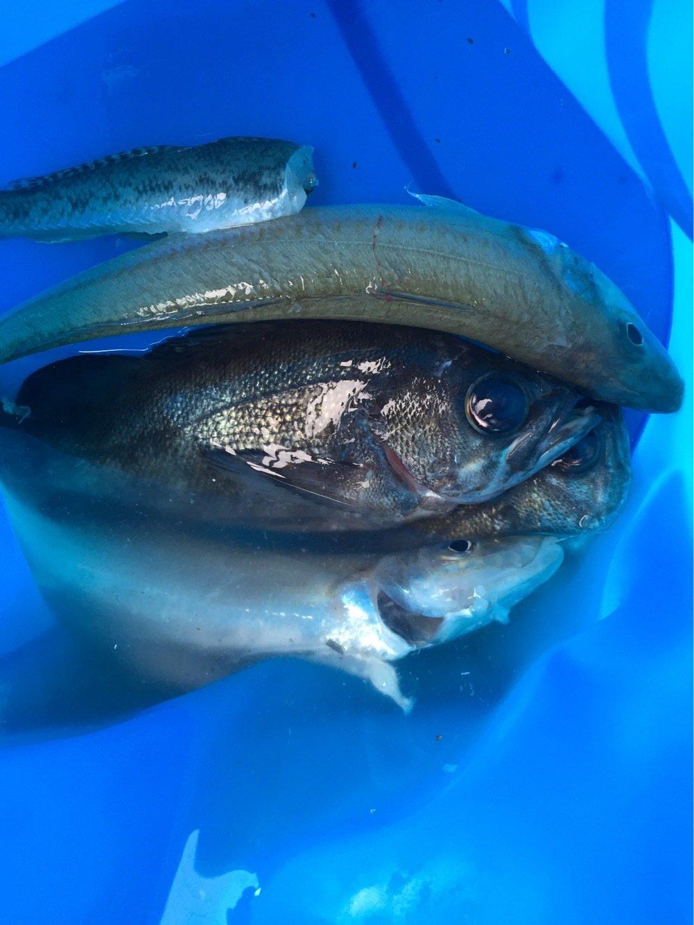 タさんの投稿画像,写っている魚はメバル