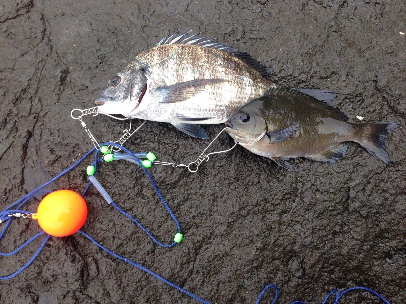 HIDEKIさんの投稿画像,写っている魚はクロダイ